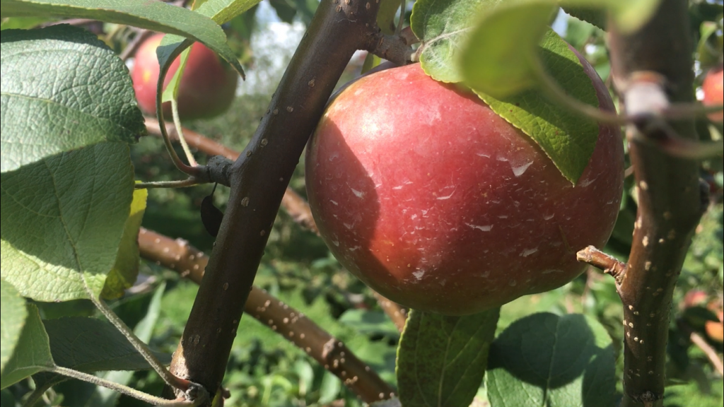After blistering winter and late spring snows, apple orchards say crops have persevered