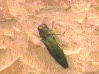 New Emerald Ash Borer Infestation Sites