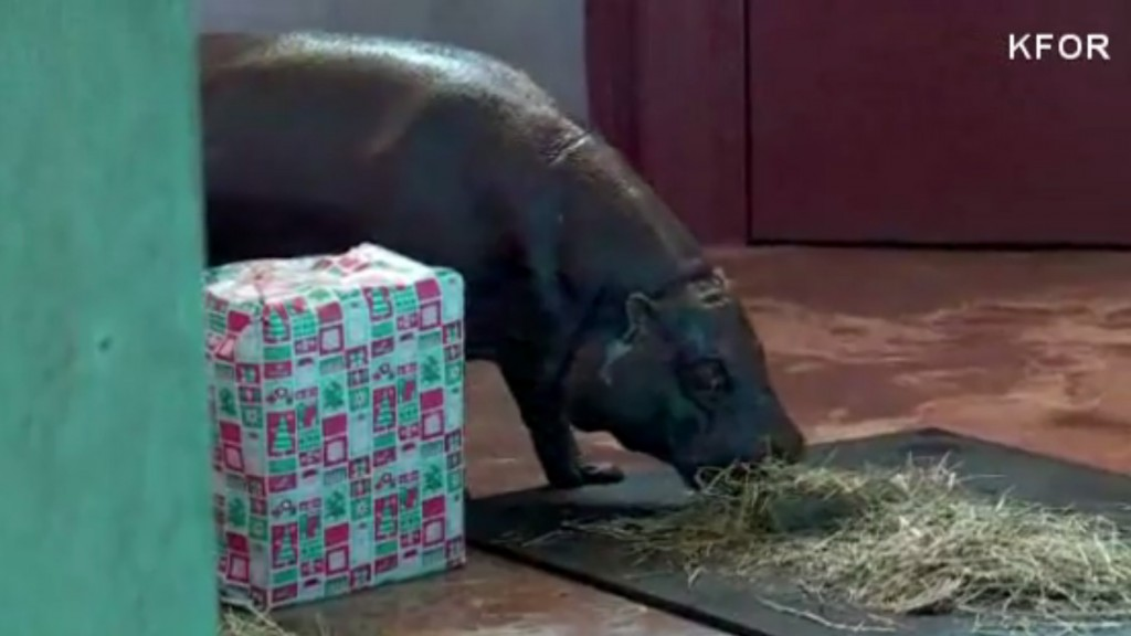 Zoo gets 'hippopotamus for Christmas'