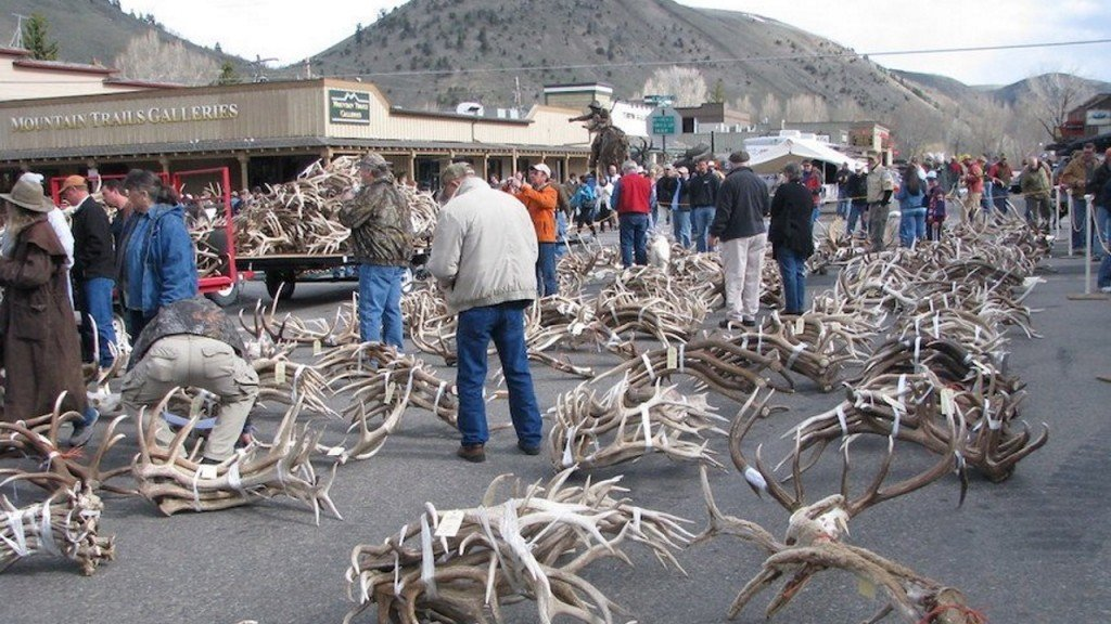 Thousands of elk antlers sold at auction