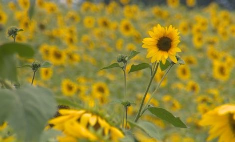 Sunflowers shine at Pope Conservancy in Middleton