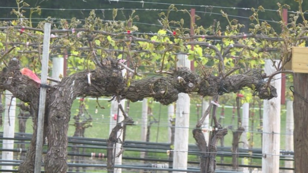 Winery loses 80 percent of its red grapes during late-season freeze