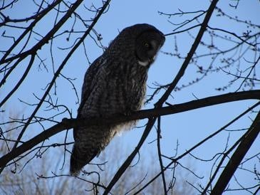Long winter takes toll on rare owls