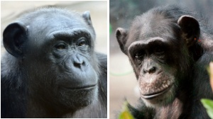 Chimps at Henry Vilas Zoo to be replaced by lemurs