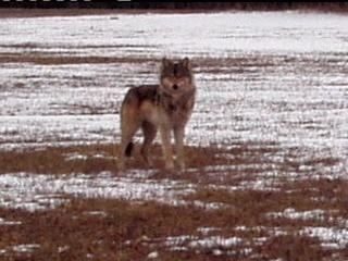 Bills would drop federal protections for wolves in 4 states