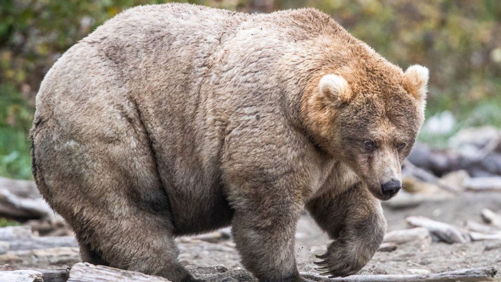 #FatBearWeek2019: 435 Holly is our new bear queen