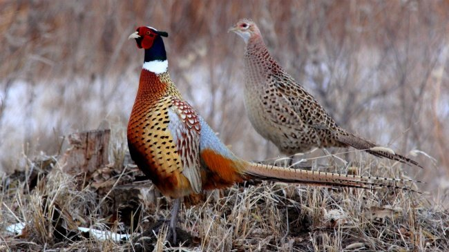 4 arrested for allegedly killing pheasants at high school