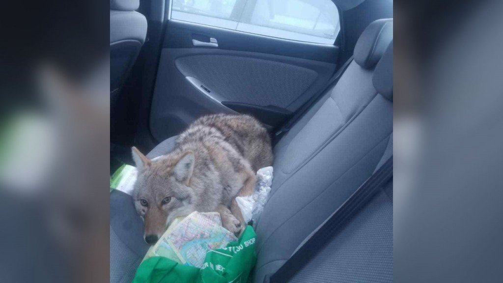 Dog hit by car and taken to safety turns out to be coyote