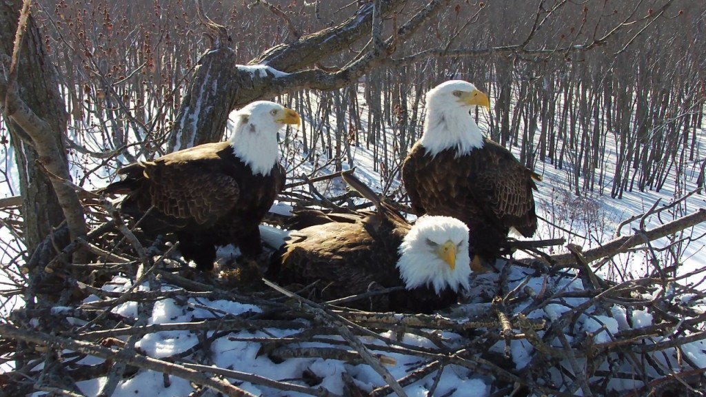 Trio of bald eagles share parenting duties