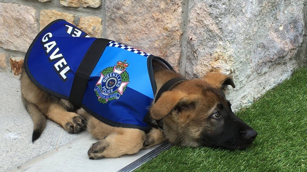 How a canine crime-fighter became Queensland's most regal doggo