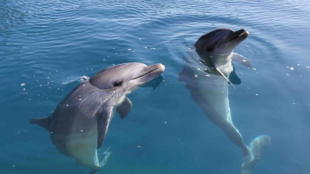 Dolphins can be left- or right-handed