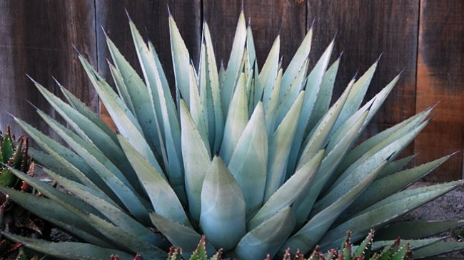 Agave plant pinched, police say