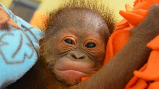 PHOTOS: Madison-born orangutan settles in with foster mom