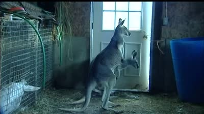 Report: Beaver Dam won't allow kangaroos as service animals