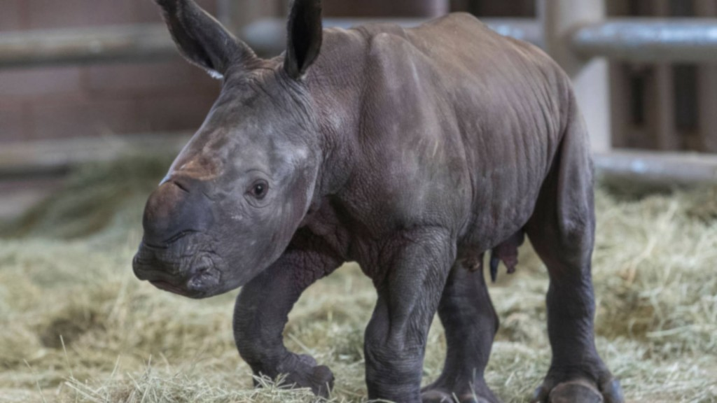 This little cutie could help save a type of rhino from extinction