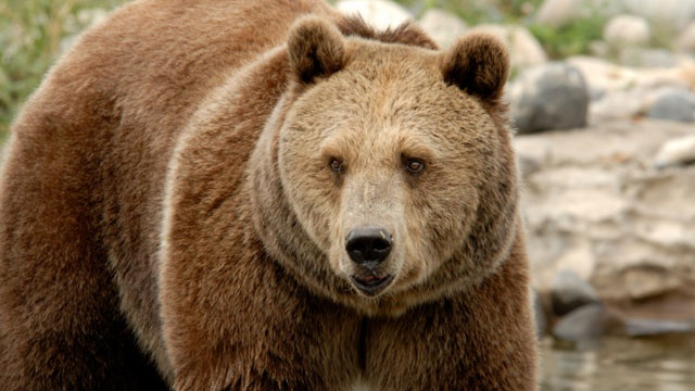 Judge puts Yellowstone grizzly bears back on endangered list
