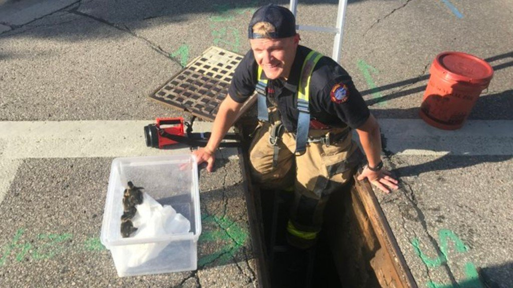 A Madison Fire Fighter Rescues Ducklings