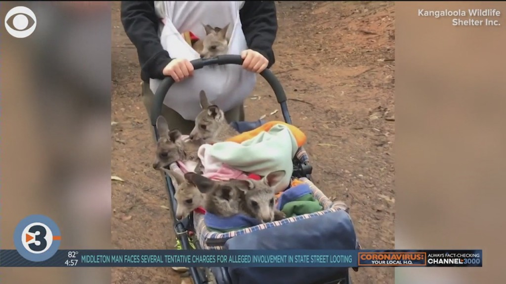 News Hounds: Delivery Dogs, Penguins, Joeys On A Stroll
