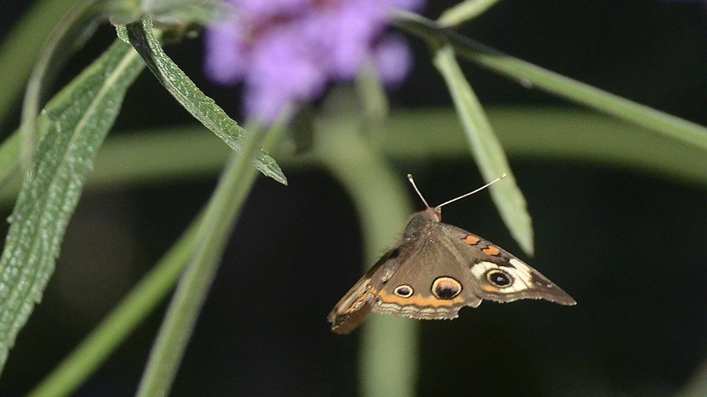 Buckeye Butterfly Flying To The Next Bloom
