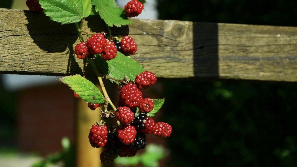 A bunch of blackberries hang from a wood fence.