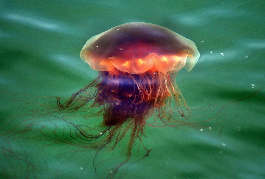 Invasion Of Jellyfish On South Shore