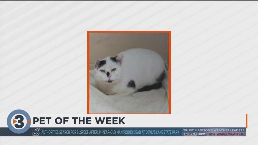 Meet Chimbles The Eighth, Dane County Humane Society's Pet Of The Week