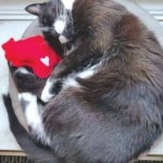 cat cozied up with a wisconsin heart cat toy