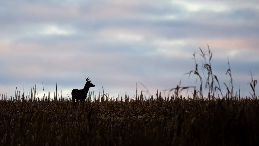 Silhouette Of A 8 Point White Tailed Deer Buck Standing In A Cornfield