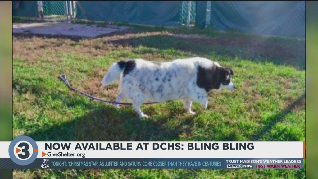Meet Bling Bling: A Dog Up For Adoption At Dchs