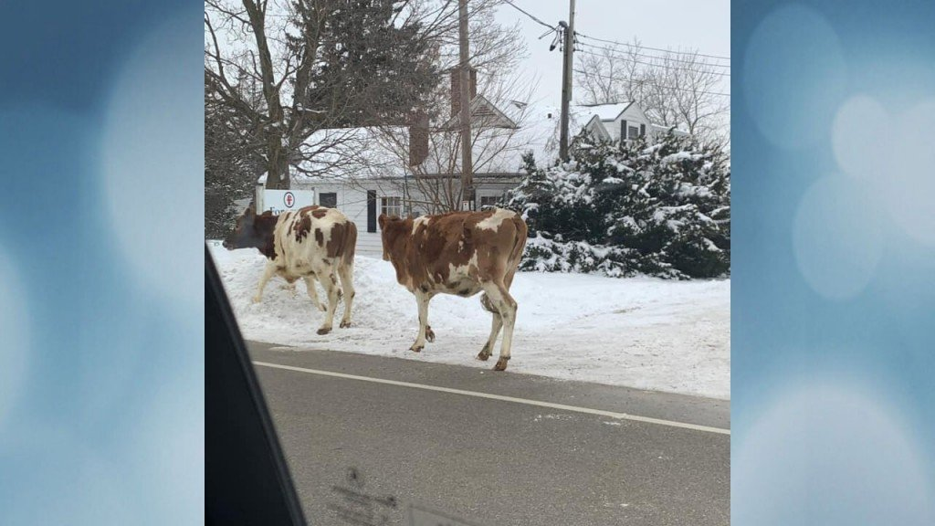 Cows On The Run