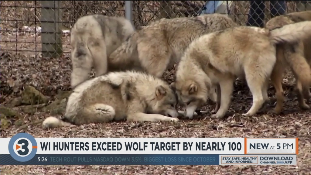 Wisconsin Wolf Hunters Exceed Target By Nearly 100