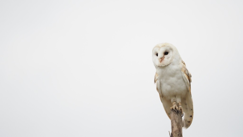 A Snowy Owl perches against a white sky background