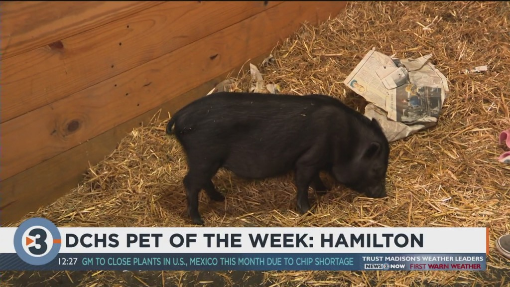 Meet The Pet Of The Week: Hamilton