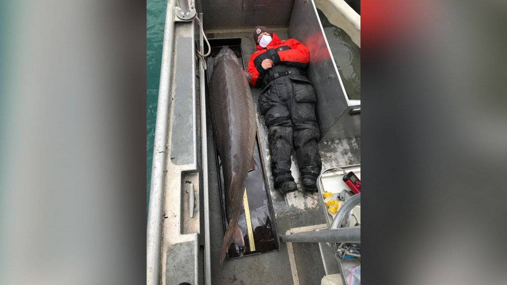 Giant 'river monster' fish may be over 100 years old