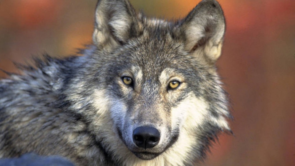 Study Says Hunting, Poaching Reduce Wisconsin Wolf Numbers