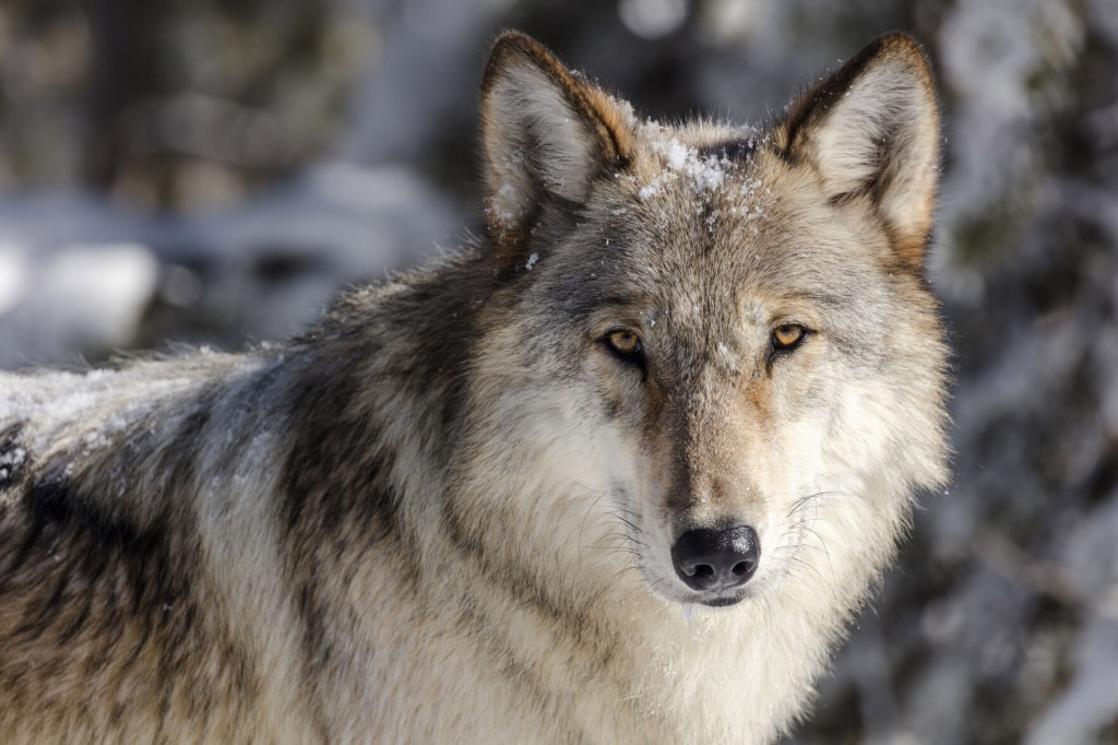Wolves In Idaho, Montana Could Get Federal Oversight