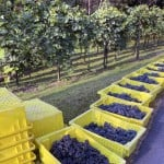 line of bins filled with grapes at Wollersheim Winery