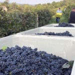 bins filled with grapes at Wollersheim Winery