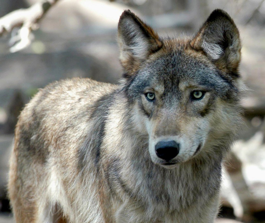 Us Tribes Demand Emergency Protection For Wolves
