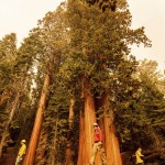 California Wildfires Burn Into Groves Of Giant Sequoia Trees