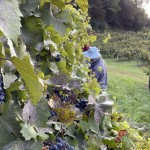 peaking at the grapes at Wollersheim Winery