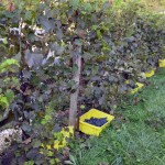 Containers of grapes on the ground next to vines