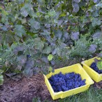 two containers full of grapes cut from the vines