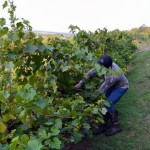 person cutting vines at Wollersheim Winery