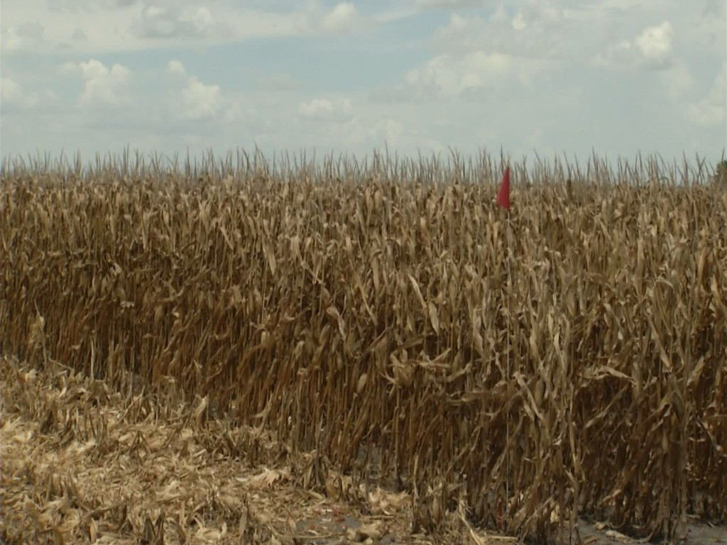 Corn and Grain Sorghum Yields Down From Last Year