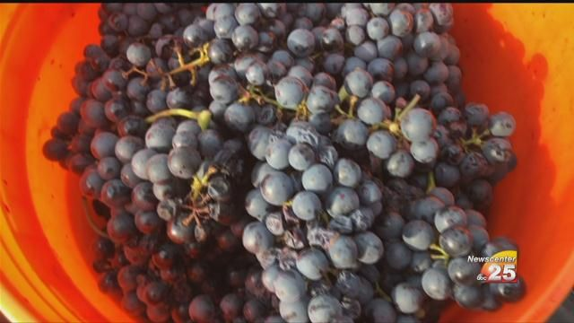 Goliad County Winery Harvested Black Spanish Grapes Tuesday