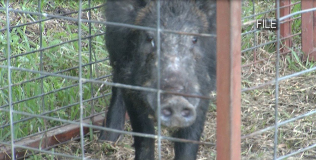 County trapper to receive new feral hog traps and bait