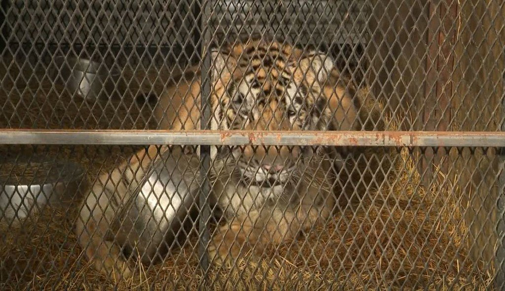 Police: Pot smokers find caged tiger in abandoned house