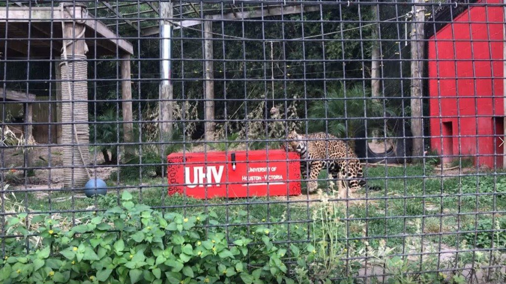 jaX the Jaguar blesses upcoming UHV graduates' class rings