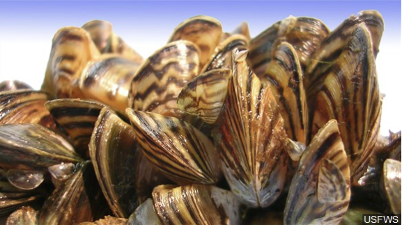 Texas: 15 lakes show signs of invasive zebra musslels